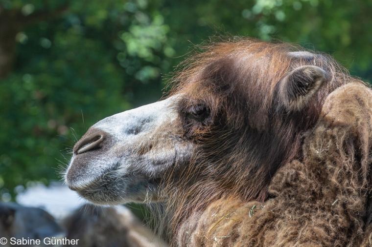 Kamel im Profil